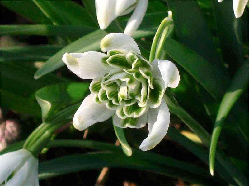 ghiocel galanthus nivalis cu floare plina