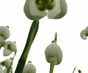 ghiocel galanthus-s-arnott