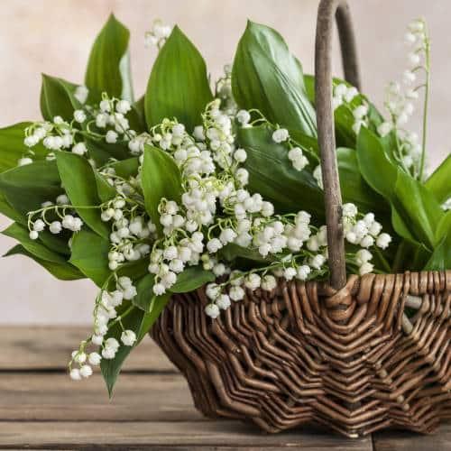 Lacramioare plante medicinale