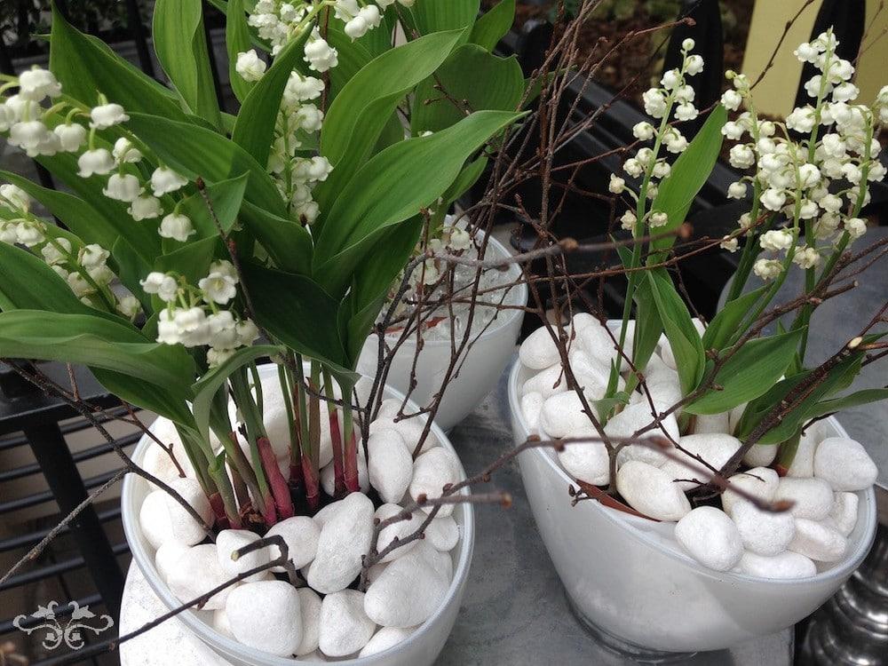 Lacramioarele plante decorative de gradina
