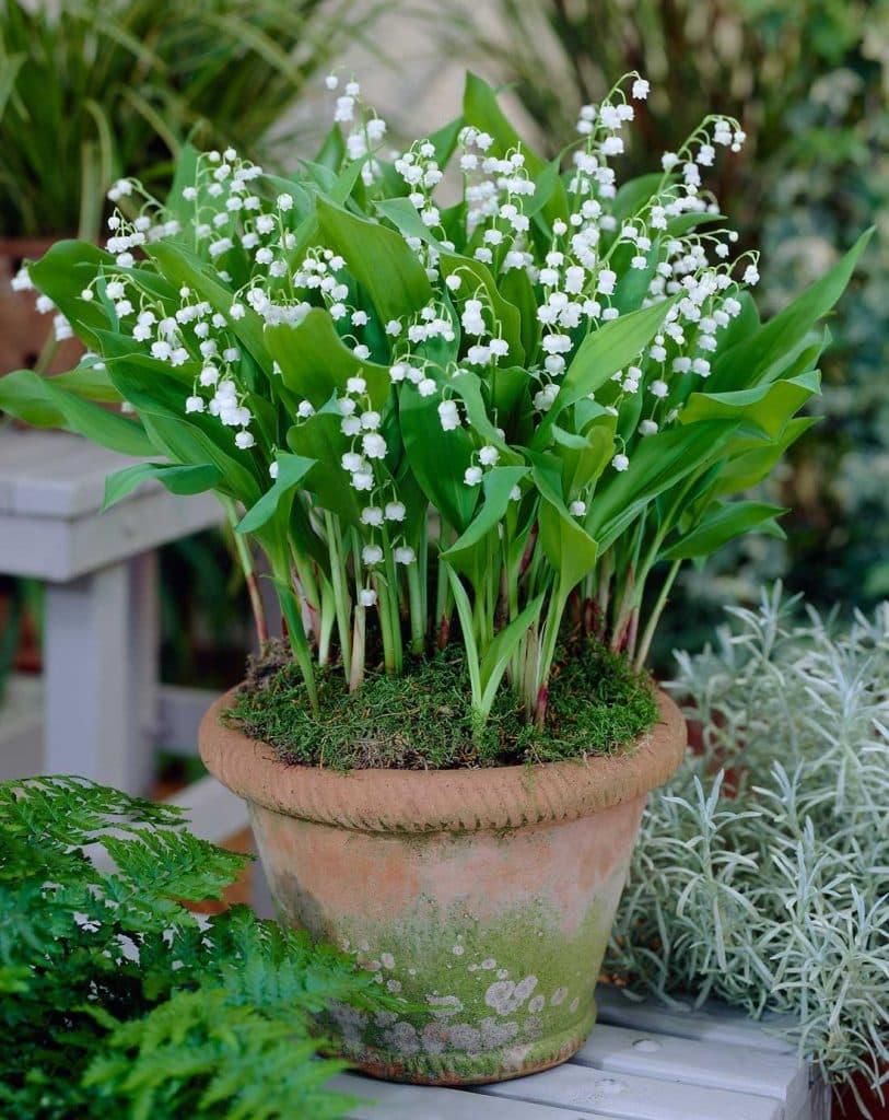 Planteaza lacramioare albe in ghiveci
