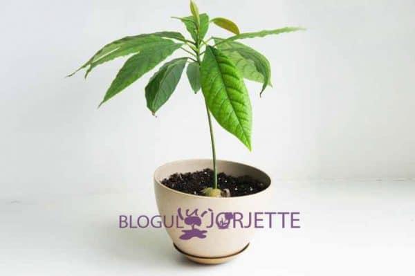 cum sa plantezi avocado planta de avocado