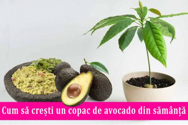 cum sa cultivi avocado din samanta