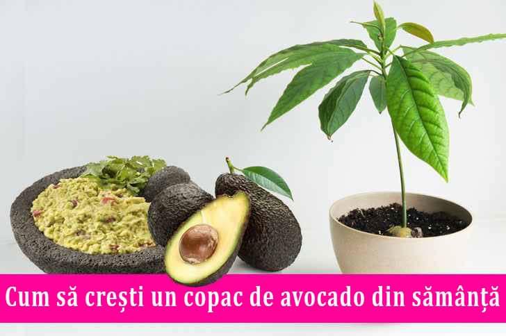 Cum sa cresti un copac de avocado din samanta