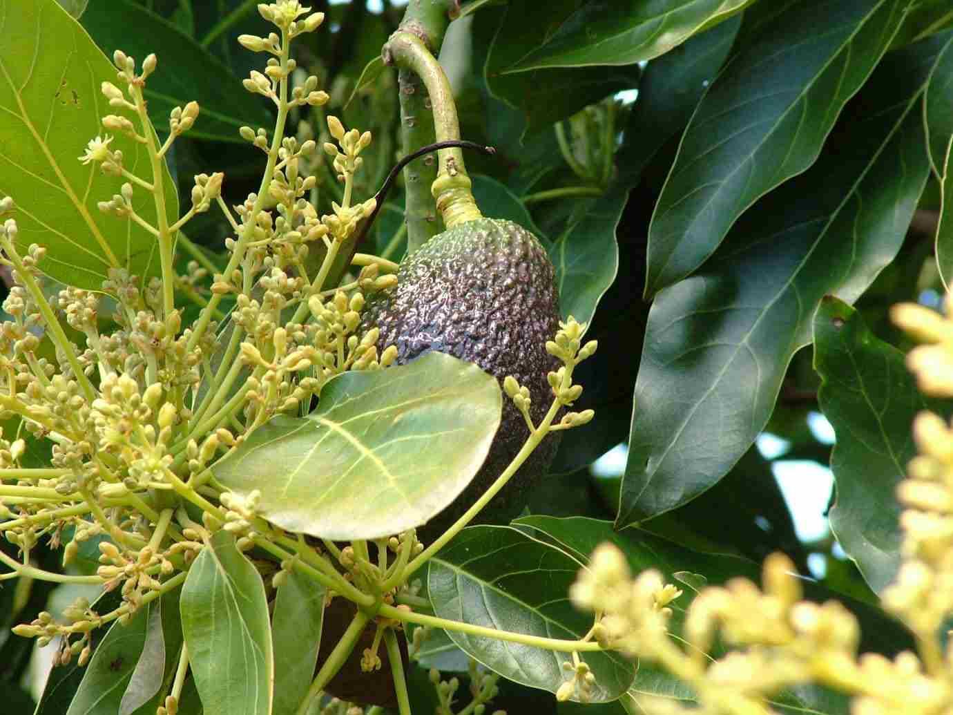 Fruct de avocado cu flori