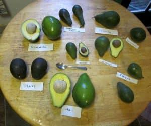 soiuri de avocado