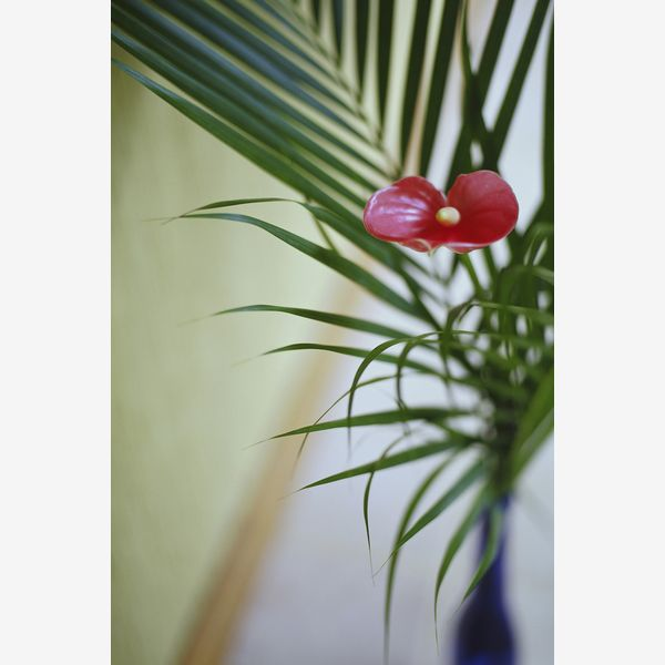 Floarea Flamingo - Anthurium