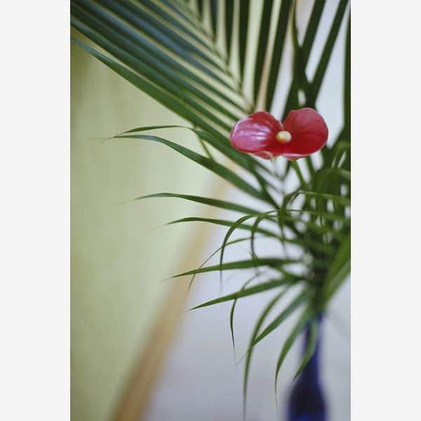 Floarea Flamingo - Anthurium