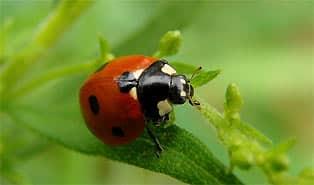 buburuzele pesticide naturale