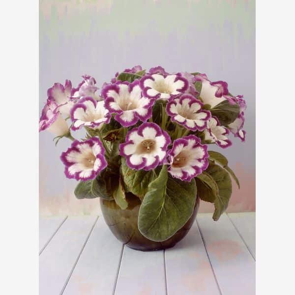 gloxinia flori de apartament