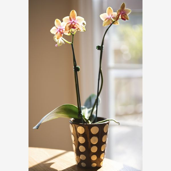 orhidee - plante de apartament