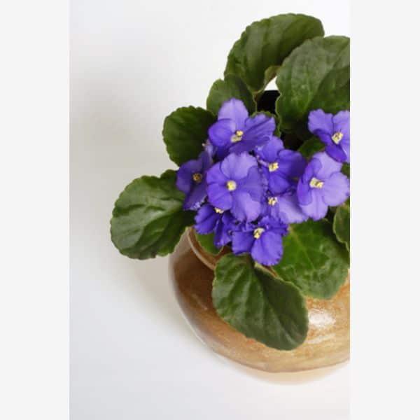 violeta africana flori de apartament