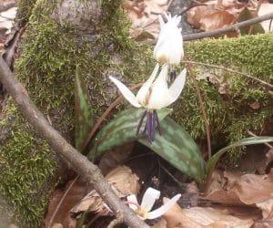flori de padure