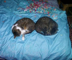 pisici de la tara - Rin si Rita dorm in armonie
