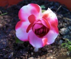 sporul casei - floare din gradina noastra
