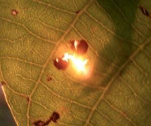 soarele prin frunza de nuc