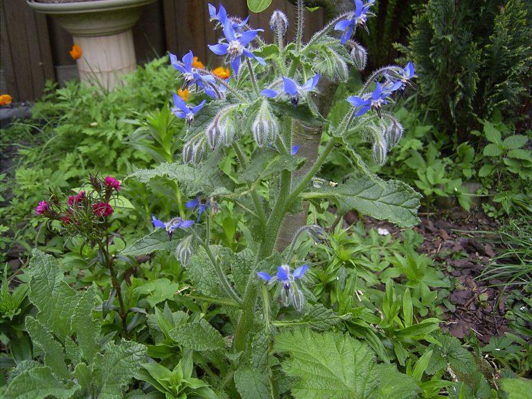Planta de limba mielului retete, beneficii