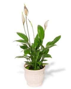 crinul pacii - plante de interior