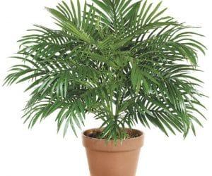 palmier de apartament