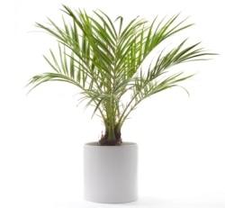 palmier de interior