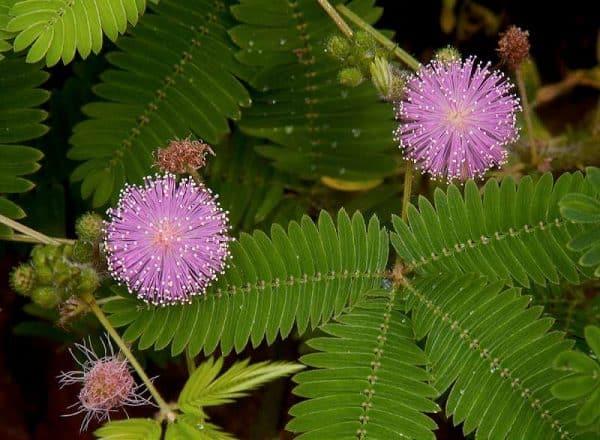 mimosa pudica mimoza