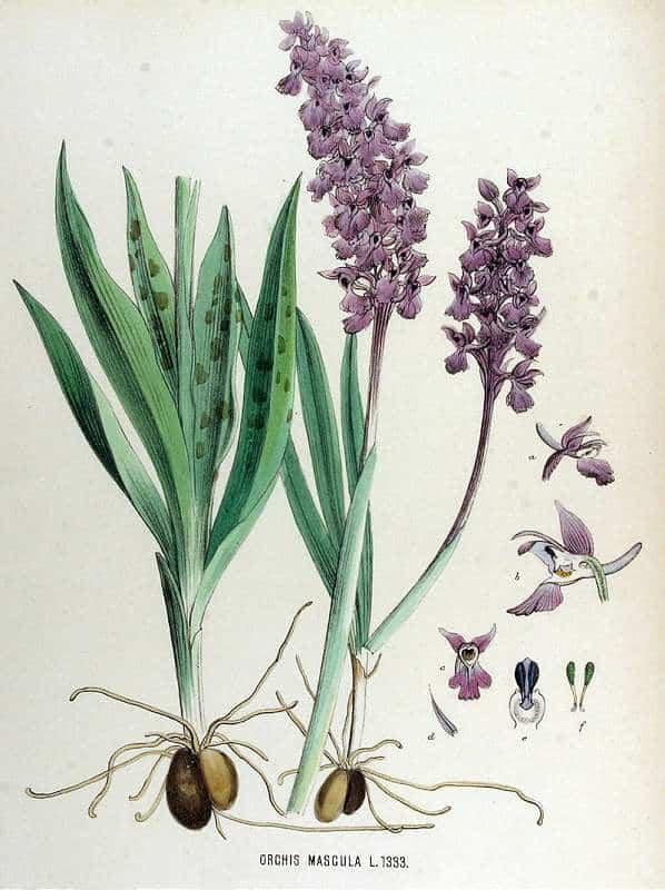 Orchis mascula sau porainicul