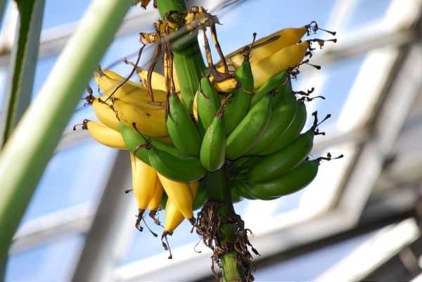 banana - sursa de potasiu si complex de vitamine B