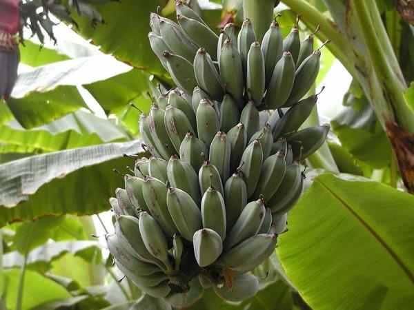 planta de banane