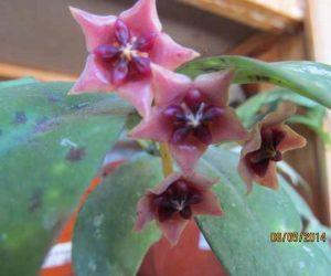 hoya lobbi floarea de ceara
