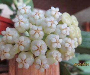 hoya pachyclada sau floarea de ceara