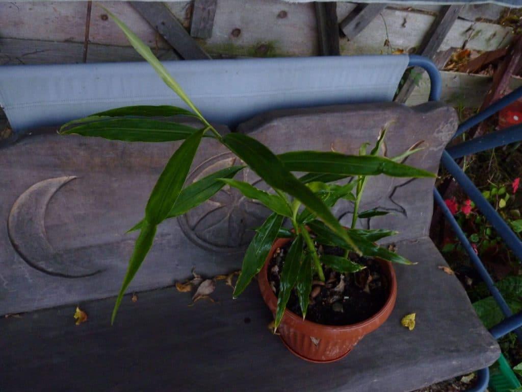 planta ghimbir in ghiveci - ingrijire, inmultire, crestere, cultivare