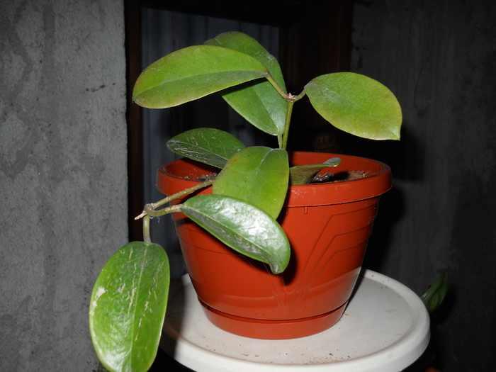 hoya australis ssp. tenuipes