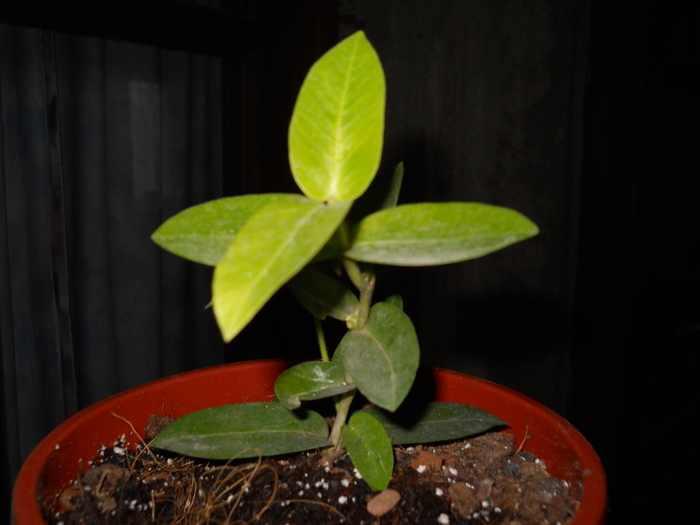 hoya cummingiana narrov leaver R