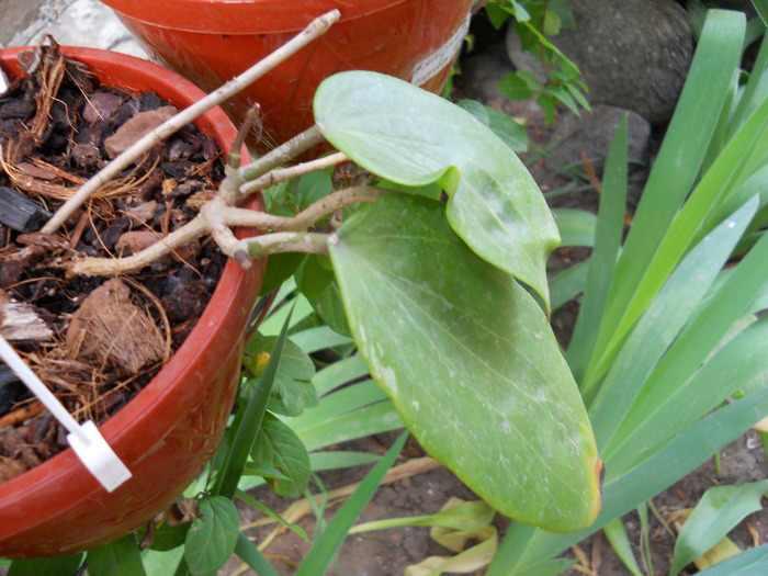 hoya glabra pink-green fl
