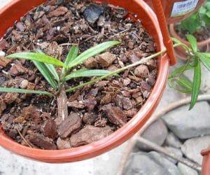 hoya pauciflora PS