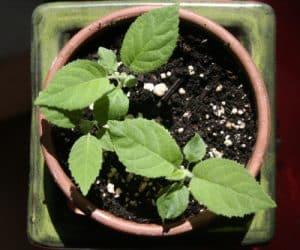 Imaginea thumbnail despre Cum sa cresti kiwi din seminte la tine acasa
