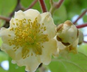 floare de kiwi planta mascul