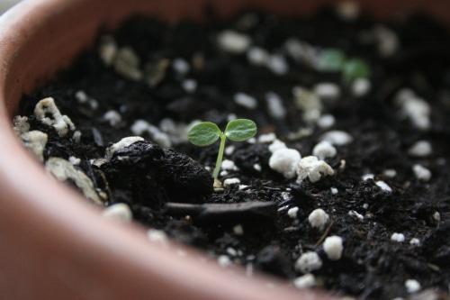 planta de kiwi din seminte