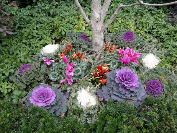 varza kale ornamentala