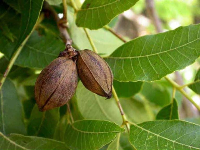 Carya illinoinensis sau nuc pecan