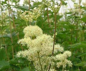 Cretusca planta medicinala