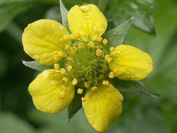 Floarea de Cerențel