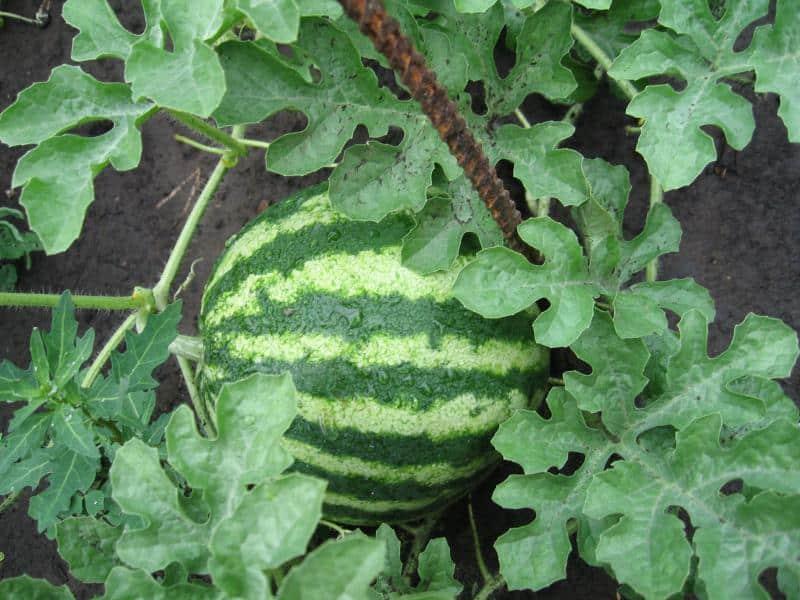 Imaginea thumbnail despre Pepene verde – Totul despre cel mai consumat fruct vara