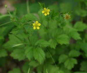Imaginea thumbnail despre Planta de cerentel ~ Beneficii, proprietati, tratamente si contraindicatii