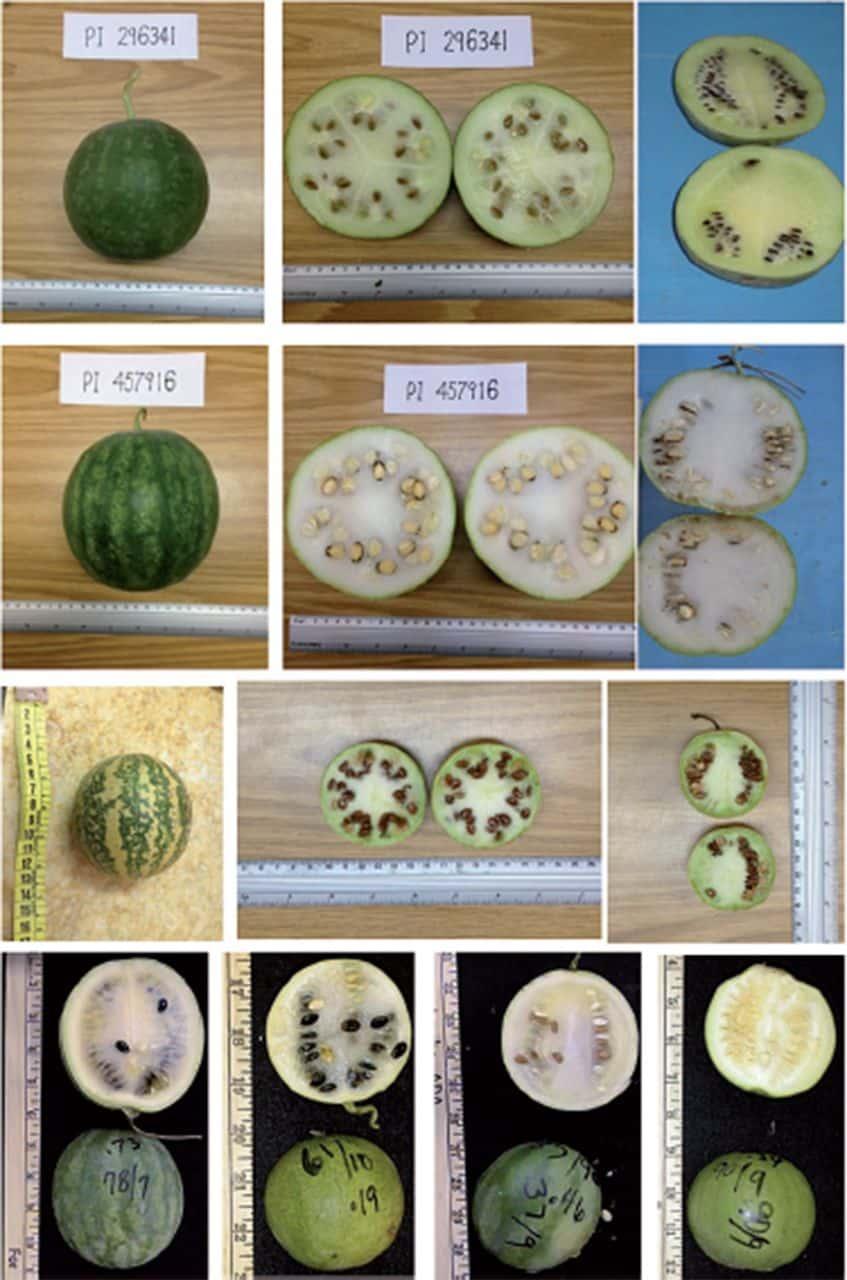 Varietati de pepene verde salbatic