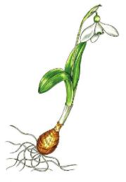 Galanthus platyphyllus