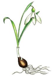 Galanthus trojanus