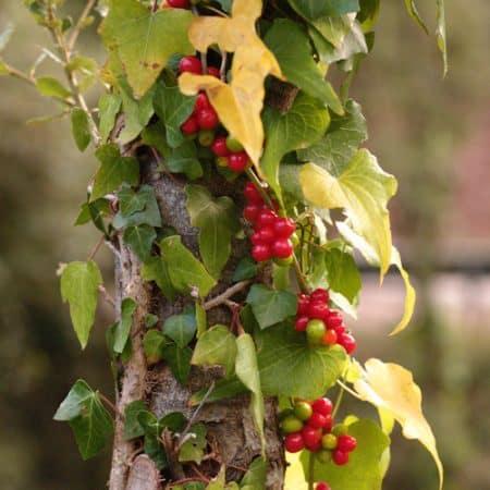 frunze si fructe untul pamantului