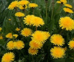 Imaginea thumbnail despre Papadia – planta medicinala folosita in peste 30 de afectiuni
