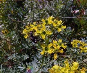 Ruta de gradina planta medicinala virnant